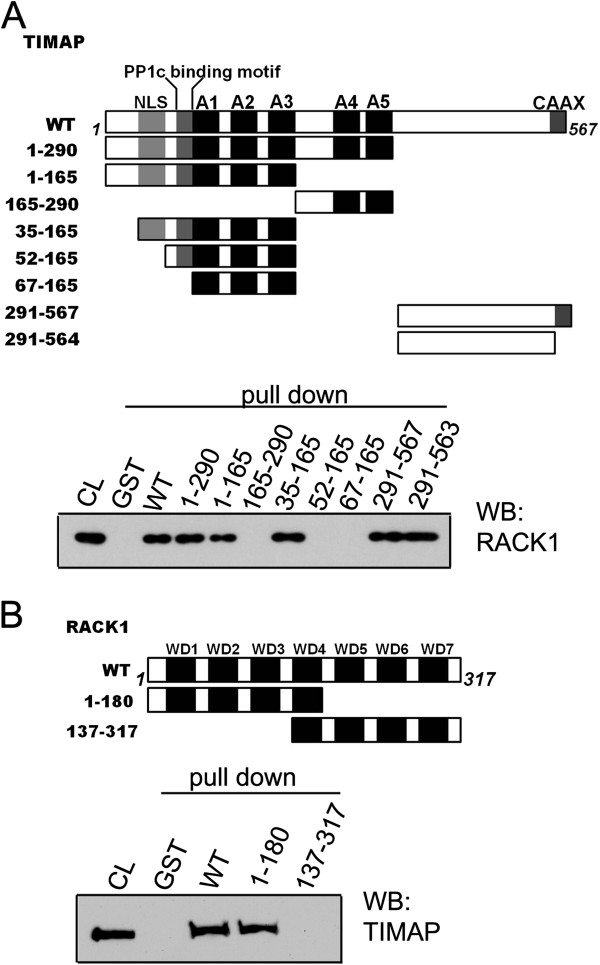 Domain mapping of TIMAP-RACK1 interaction. ( A ): GST-TIMAP pull-down of endogenous RACK1. GST, recombinant GST-TIMAP WT or additional GST-TIMAP fragments (depicted in the upper part of panel A ) were loaded onto glutathione-Sepharose as described in Materials and Methods. The immobilized protein samples were incubated with BPAEC lysate. Western blot of the pull-down eluates probed with anti-RACK1 antibody is shown. CL: total cell lysate. ( B ): GST-RACK1 pull-down of endogenous TIMAP. GST, recombinant RACK1 WT or GST-RACK1 fragments (depicted in the upper part of panel B ) were tested in pull-down assay. The immobilized samples were incubated with BPAEC lysate. Western blot of the pull-down eluates was probed with anti-TIMAP antibody. Representative data of at least 3 independent experiments are shown.