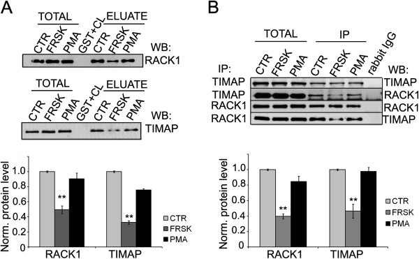 TIMAP-RACK1 interaction is attenuated by the cAMP/PKA pathway. ( A ) GST, full-length GST-TIMAP (upper part) or GST-RACK1 (lower part) were immobilized on glutathione-Sepharose and incubated with cell lysates of non treated (ctr), forskolin (50 μM for 30 min) (FRSK) or PMA (1 μM for 30 min) treated BPAEC. The eluted proteins were tested by Western blot using anti-RACK1 and anti-TIMAP antibodies. ( B ) Endogenous TIMAP or RACK1 was immunoprecipitated from BPAEC lysates after the same treatments described for panel A . IP complexes were probed for TIMAP and RACK1. Shown are representative data of means ± SE from at least 3 independent experiments. Protein levels were quantified by densitometric analysis. Eluted proteins were normalized against total protein levels.
