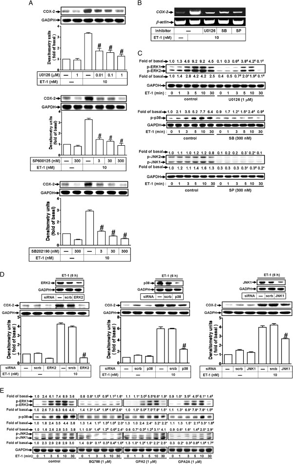 ET-1-induced COX-2 expression is mediated through MAPKs phosphorylation. ( A, B ) Cells were treated with 10 nM ET-1 for ( A ) 6 h and ( B ) 1 h in the absence or presence of U0126, SB202190, or SP600125. The COX-2 protein and mRNA expression were determined by Western blot and RT-PCR. ( C ) Time dependence of ET-1-stimulated ERK1/2, p38 MAPK, and JNK1/2 phosphorylation, cells were incubated with 10 nM ET-1 for the indicated times in the absence or presence of U0126 (1 μM), SB202190 (300 nM), or SP600125 (300 nM). ( D ) Cells were transfected with siRNA of ERK2, p38 MAPK, or JNK1 and then exposed to ET-1 for 6 h. ( E ) Cells were pretreated with BQ-788 (1 μM), GPA2 (1 μM), or GPA2A (1 μM) for 1 h and then incubated with ET-1 (10 nM) for the indicated times. The cell lysates were collected and analyzed by Western blotting using an anti-COX-2, anti-phospho-ERK1/2, anti-phospho-p38 MAPK, anti-phospho-JNK1/2, anti-ERK2, anti-p38 MAPK, anti-JNK1, or anti-GAPDH (as an internal control) antibody. Data are expressed as mean ± SEM of at least three individual experiments (n=3 in each group; * P