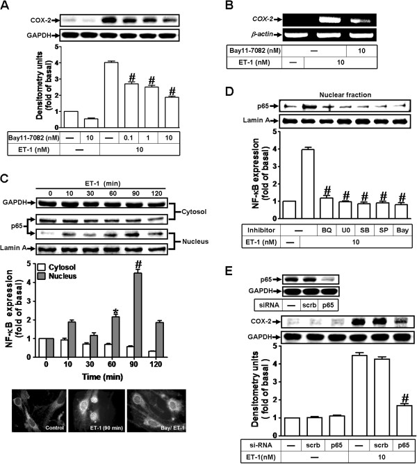 NF-κB (p65) is essential for ET1-1-induced COX-2 expression. ( A, B ) Cells were treated with 10 nM ET-1 for 6 h in the absence or presence of Bay11-7082. The COX-2 protein and mRNA expression were determined by Western blot and RT-PCR as described in Figure 1 . ( C ) Time dependence of ET-1-stimulated p65 NF-κB translocation by subcellular isolation, Western blot, and immunofluorescent stain. ( D ) Cells were pretreated with U0126 (1 μM), SB202190 (300 nM), SP600125 (300 nM), BQ-788 (1 μM), or Bay11-7082 (10 nM) for 1 h and then incubated with ET-1 (10 nM) for 90 min. The nuclear fraction was analyzed by Western blot. ( E ) Cells were transfected with p65 siRNA and then exposed to ET-1 for 6 h. The cell lysates were collected and analyzed by Western blotting using an anti-COX-2, anti-p65, anti-Lamin A, or anti-GAPDH (as an internal control) antibody. Data are expressed as mean ± SEM of at least three individual experiments (n=3 in each group; # P