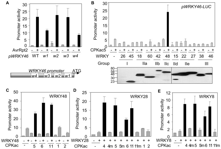"""Synergism of CPKs and WRKYs on WRKY46 promoter activity. ( A ) Requirement of W-boxes for WRKY46 promoter activity in protoplasts. The WT or mutant WRKY46 promoter was co-transfected with avrRpt2 or a vector control. The scheme represents the positions of four W-boxes in the WRKY46 promoter. ( B ) Functional genomic screen of WRKYs in protoplasts. The representative WRKY from different groups were co-transfected with CPKac5 for the activation of WRKY46 promoter. The bottom panel shows the expression of individual HA epitope-tagged WRKYs detected by Western blot. ( C ) Synergistic activation of WRKY46 promoter by WRKY48 and specific CPKacs in protoplasts. ( D ) Synergistic activation of WRKY46 promoter by WRKY28 and specific CPKacs in protoplasts. """"m"""" indicates the kinase-dead mutants of CPKacs. ( E ) Synergistic activation of WRKY46 promoter by WRKY8 and specific CPKacs in protoplasts. """"m"""" indicates the kinase-dead mutants of CPKacs. The above experiments were repeated three times with similar results."""