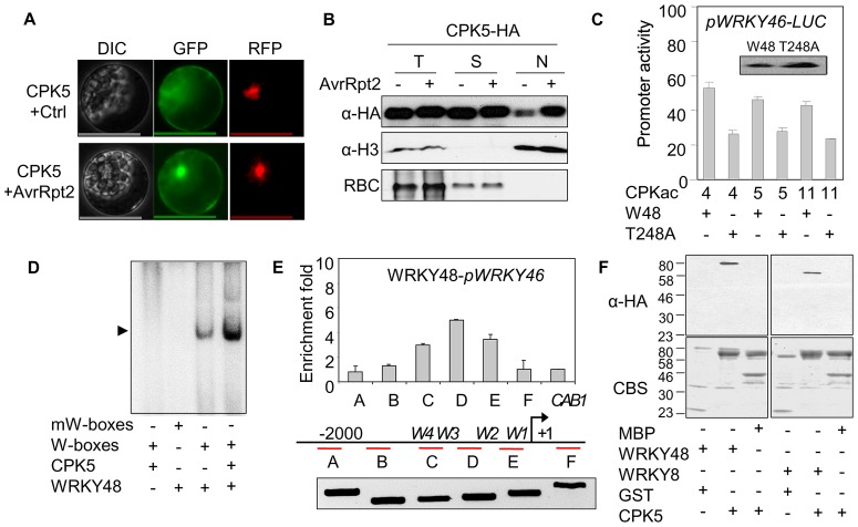 CPKs enhance WRKY binding to the W-boxes. ( A ) Subcellular localization of CPK5 in protoplasts. CPK5-GFP was co-transfected with avrRpt2 or a vector control, and CPK5-GFP localization was observed with a confocal microscope 12 hpt. The nucleus was indicated with a co-transfected nuclear-localized RFP. Bar = 50 µm. ( B ) Subcellular fractionation of CPK5 in protoplasts. CPK5-HA was co-transfected with avrRpt2 or a vector control. Total protein extracts (T) were separated into nuclear (N) and soluble (S) fractions. CPK5 expression was detected by Western blot with an α-HA antibody. The purity of the nuclear and soluble fractions was demonstrated with α-Histone H3 antibody and CBS for RuBisCO (RBC). ( C ) T248 was required for WRKY48 synergistic activation with CPKs on WRKY46 promoter in protoplasts. The protein expression of WRKY48 and its T248A mutant was shown in the insert. ( D ) CPK5 enhanced WRKY48 binding to the W-boxes in vitro . The recombinant WRKY48 protein was incubated with 32 P-labeled W-boxes or mutated W-boxes (mW-boxes) probe in a gel mobility shift assay. CPK phosphorylation of WRKY48 was performed prior to DNA binding assay. ( E ) WRKY48 bound to the endogenous WRKY46 promoter regions enriched with W-boxes in protoplasts. Fragment A to F were ChIP-PCRed with primers across WRKY46 promoter and gene body. W1 to W4 indicate the positions of W-boxes corresponding to Figure 3A . CAB1 is a control gene. +1 is the transcriptional start site. Data are shown as mean ± SD. The input control for each primer pair was shown on the bottom. ( F ) In vitro pull down of WRKYs and CPK5. MBP was the control for MBP-fused WRKY proteins with a HA tag. GST was the control for GST-fused CPK5 proteins. MBP-WRKY48-HA, MBP-WRKY8-HA or MBP proteins were incubated with GST or GST-CPK5 beads, and the beads were collected and washed for Western blot of immunoprecipitated proteins with an α-HA antibody. The above experiments were repeated three times with similar results.
