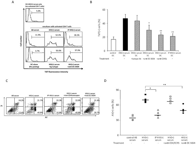 Sera from HIV-1(+) individuals can sensitize moDC for DC-SIGN dependent CD40L-mediated apoptosis. ( A ) moDC were treated with HIV(+) serum before or after immunoprecipitation (IP) with anti-gp120 mAbs, or with or without anti-DC-SIGN or isotype control mAbs, and subsequently co-cultured with autologous activated CD4 T cells. After 3 d, cells were harvested and subjected to TUNEL assays. Cell death was assessed as the percentage of cells expressing terminal deoxynucleotidyl transferase (TdT). DC pulsed with HIV(+) serum without coculture with activated CD4 T cells (top panel) were also used as a control. Data are representative of 4 experiments. ( B ) MoDCs were treated with anti-DC-SIGN mAbs, isotype control Ab, or anti-CD40L mAb before pulse with HIV serum (before or after immunoprecipitation of gp120) and cocultured with activated CD4 T cells. Data are expressed as mean ± SD (n = 4); *p