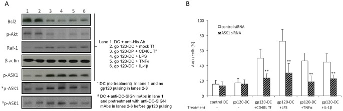 Activation of gp120-primed DC reduced the expression of Bcl2 and activated Akt, and the induction of cell apoptosis is ASK1-dependent. ( A ) moDC treated with immune-complex gp120 ADA were exposed to CL40L Tf or mock Tf, or LPS, TNFα, IL-1β for 3 d, and cellular proteins of moDC (recovered from coculture) were extracted for Western blotting analysis. MoDC treated by anti-His Ab (used to cross-link recombinant gp120 ADA ) were used as a control (control DC). *p-ASK1 represent results from untreated moDC (lane 1) and DC treated as indicated but no gp120 pulsing (lanes 2–6), whereas #p-ASK-1 represents results from pre-treatment of anti-DC-SIGN mAbs. Data are representative of 3 experiments. ( B ) moDC were transfected with siRNA against human ASK1 or control siRNA (scrambled) before pulse with immune-complex gp120 and subsequent exposure to CD40L Tf, LPS, TNFα or IL-1β. Data are expressed as mean ± SD from 3 experiments. **p
