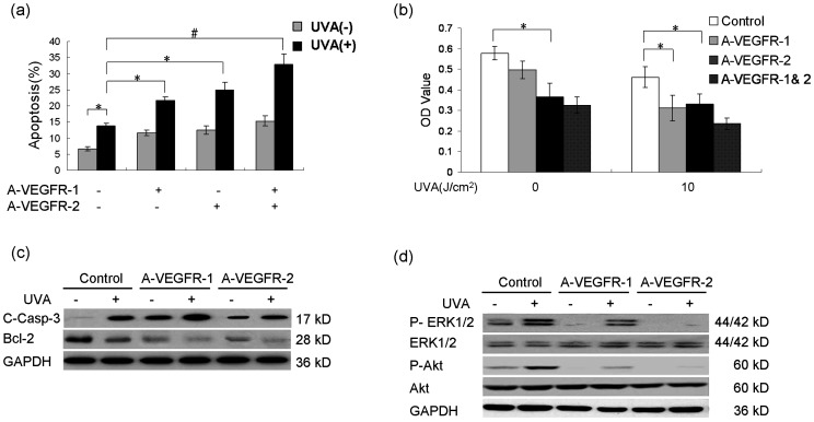 Activated VEGFR-1 and VEGFR-2 by UVA both contribute to the survival of keratinocytes via subsequent activation of ERK1/2 and Akt. (a) Keratinocytes were incubated with or without neutralizing antibodies against VEGFR-1 (A-VEGFR-1, 5 µg/ml) and VEGFR-2 (AVEGFR-2, 5 µg/ml) 24 h after treatment of 0 or 10 J/cm 2 UVA, and cell apoptosis rate was examined by flow cytometry. (b) Keratinocytes were incubated with neutralizing antibodies against VEGFR-1 (A-VEGFR-1, 5 µg/ml) and/or VEGFR-2 (A-VEGFR-2, 5 µg/ml) 24 h after treatment of 0 or 10 J/cm 2 UVA, and cell survival was determined by MTT assay. (c) Western blotting detection of cleaved-caspase-3 and Bcl-2 in keratinocytes treated by 10 J/cm2 UVA with or without incubation of VEGFR-1 neutralizing antibody (A-VEGFR-1, 5 µg/ml) or VEGFR-2 neutralizing antibody (A-VEGFR-2, 5 µg/ml) for 24 h. (d) Western blotting detection of phospho-ERK1/2 and phospho-Akt in keratinocytes 12 h after treatment of 10 J/cm 2 UVA with or without pre-incubation of VEGFR-1 neutralizing antibody (A-VEGFR-1, 5 µg/ml) or VEGFR-2 neutralizing antibody (A-VEGFR-2, 5 µg/ml) for 1 h. GAPDH was served as loading control for protein normalization, UVA: UVA; * P