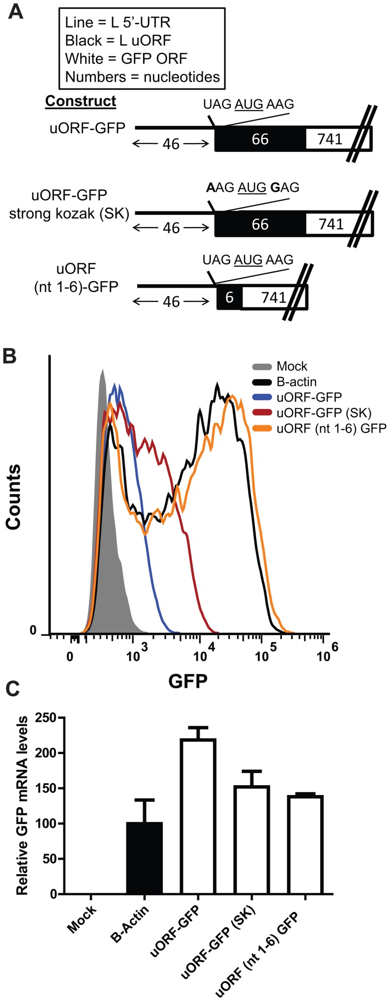 Efficiency of translation initiation at L uAUG is determined by its sequence context. A . L 5′-UTR GFP mRNA reporter constructs were generated such that the uORF is fused in frame to GFP. The nucleotide sequence immediately surrounding the uAUG of each construct is displayed. The first construct (uORF-GFP) includes the first 46 nucleotides of the L 5′-UTR up to the uAUG followed by the entire L uORF sequence placed in frame with the GFP ORF (labeled uORF-GFP). The middle construct (uORF-GFP SK) is identical to the first, but the uAUG is surrounded by a strong Kozak sequence (A at the −3 position and a G at the +4 position, where the A of the AUG is designated as +1). The bottom construct includes the L 5′-UTR, through the uAUG and the second codon of the uORF which was placed in frame with the GFP ORF, but lacks the rest of the uORF. In each case, the start codon for GFP was removed. The number of nucleotides in each construct is indicated and the features of each construct are summarized in the box above the diagram. B . Equal amounts of each in vitro transcribed mRNA were transfected into 293T cells. At 2.5 hours post transfection, cells were harvested and analyzed by flow cytometry. The experiment was performed in triplicate, and a representative sample is displayed for each group. C . GFP mRNA levels, as determined by real time PCR, present in the transfected cells described in B were determined for each sample.