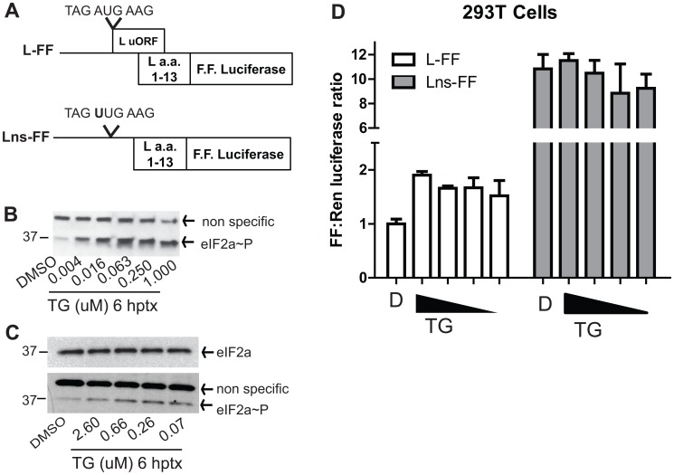 The L uAUG modulates translation of the L pORF in response to eIF2α phosphorylation in 293T cells. A . Diagram of the pCAGGS EBOV L 5′-UTR firefly luciferase fusion reporter construct with the EBOV L 5′-UTR upstream of L (amino acids 1–13) in frame with firefly luciferase (L-FF) and an identical construct, lacking the uAUG codon (Lns-FF). B . Thapsigargin (TG) treatment induces eIF2α∼P. Cells were treated with either DMSO or with increasing doses of TG and lysed in NP-40 lysis buffer with protease inhibitors. eIF2α∼P levels were measured by western blot. C . Western blot of total eIF2α and eIF2α∼P levels, from untreated and TG-treated cells which were lysed in passive lysis buffer that was used for the luciferase analysis in panel D. D . The L uAUG functions to maintain L translation following TG treatment. 293T cells were transfected with pRLTK and the L-FF or the Lns-FF reporter constructs. At 24 hpt, cells were treated with four doses of TG and harvested at 10 hours post treatment. Dual luciferase assays were performed to determine the firefly to Renilla luciferase ratio in the presence or absence of TG treatment and the FF to Renilla ratio of the DMSO treated cells transfected with L-FF was set to 1. Each data point represents the mean and standard deviation of four replicates.