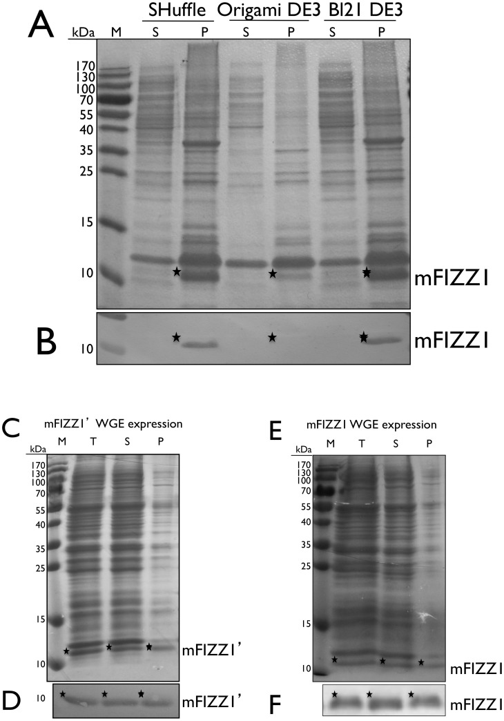mFIZZ1 soluble expressed using wheat germ extract. ( A ) The expression of mFIZZ1 in SHuffle™ T7, Origami DE3 and BL21 DE3 analysed on non-reducing 15% SDS-PAGE stained with Coomassie Brilliant Blue. ( B ) Strip of the immunoblot from the SDS-PAGE in ( A ) developed with anti-His antibody is shown. ( C ) The expression of mFIZZ1′ with wheat germ extract analysed on non-reducing 15% SDS-PAGE stained with Coomassie Brilliant Blue. ( D ) Strip of the respective immunoblot of ( C ) developed with anti-His antibody is shown. ( E ) The expression of mFIZZ1 with wheat germ extract analysed on non-reducing 15% SDS-PAGE stained with Coomassie Brilliant Blue. ( F ) Strip of the respective immunoblot of ( E ) developed with anti-His antibody is shown. As marker (M) the PageRuler™ pre-stained Protein Ladder (Fermentas) is used. P = pellet, S = soluble fraction and T = total. The corresponding bands are indicated with an asterisk.