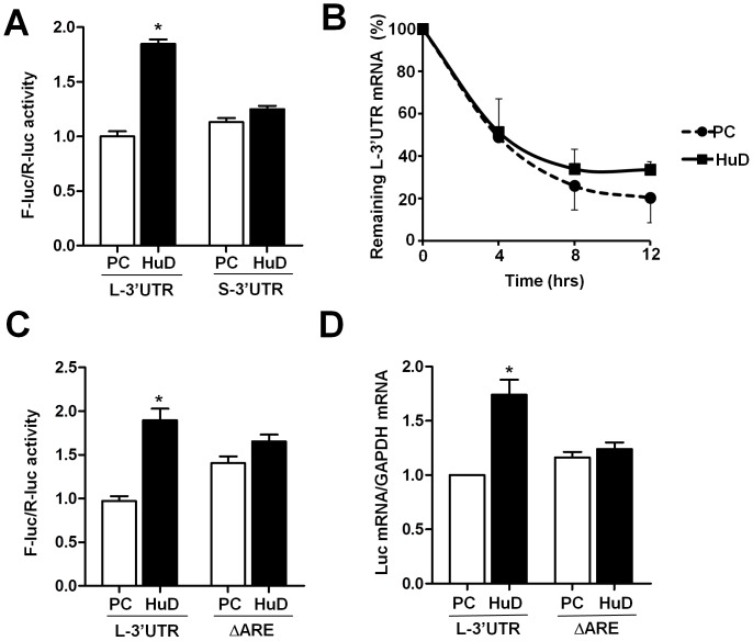 HuD selectively enhances expression of the luciferase reporter that harbors the BDNF long 3′UTR in an ARE-dependent manner. CAD cells were cotransfected by 200 ng of reporter construct together with either pcDNA-HuD (HuD) or the pcDNA parental vector (PC). 20 ng of pRL-CMV Renilla luciferase construct was included in each transfection. Twenty-four hours after transfection, cells were harvested and subjected to dual luciferase reporter assay or mRNA extraction followed by DNAase-treatment and RT-qPCR. (A) myc-HuD enhances expression of the luciferase reporter that carries the BDNF long 3′UTR but not the short 3′UTR. (B) myc-HuD reduces decay of the BDNF long 3′UTR reporter mRNA in co-transfected CAD cells in which transcription is inhibited by actinomycin D. (C) Loss of the ARE in the BDNF long 3′UTR abolished the repose to HuD-dependent enhancement of reporter expression. (D) HuD regulates reporter mRNA expression mediated by the ARE in the BDNF long 3′UTR. * indicates P