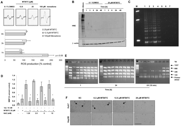 Apoptosis induction and telomerase loss in HepG2 cells are independent from ROS production. a) Effect of MTBITC on ROS production in adherent growing cells. Cells were exposed to MTBITC for 1 to 6 h, washed thoroughly with PBS and subsequently exposed to 100 µM spin probe CMH in Krebs-Hepes buffer. ROS were then quantified using ESR spectrometry. Positive control: 100 µM menadione. The pictures display the middle peak of ESR spectra of CMH spin probe labelled samples. Bars are mean ± SD, n = 3. b) Representative immunoblot for HNE Lys-adducts after exposure to MTBITC or DMSO for different time points. Total lysate of HepG2 cells was subjected to immunoblotting using an anti-HNE Lys antibody. Exposure of cells to HNE for 80 min. was used as positive control. The blot was reprobed with anti-β-actin antibody to ensure equal protein loading. c+d) Effect of NAC pre-treatment. HepG2 cells were pre-treated with NAC for 1 h, washed with PBS and subsequently exposed to 25 µM MTBITC or 0.1% DMSO for another 24 h. Cells were then prepared for (c) TRAP analysis or (d) flow cytometric analysis of the mitochondrial membrane potential (MMP) as parameter for apoptosis; *p≤0.05. M: 50 bp DNA marker; 1) 0.1% DMSO 2) 25 µM MTBITC 3) 5 mM NAC +0.1% DMSO,4) 5 mM NAC +25 µM MTBITC 5) cell lytic buffer 6) destilled water 7) 0.1% DMSO, heat treated. e) Effect of 25 µM MTBITC on mtDNA damage after 1 or 24 h exposure of HepG2 cells. Agarose gel electrophoresis of amplified mtDNA multiplex PCR products is shown in representative image details. Each lane contains amplification products obtained with mtDNA from one single cell using specific PCR primers. As positive control for mtDNA damage, cells were exposed to 10 min UV irradiation. f ) Representative pictures of beta-galactosidase staining of HCC cells after exposure to MTBITC for 72 h, captured by light microscopy. beta-galactosidase positive cells are reflected by dark color of the cells. SC: solvent control = 0.1% DMSO. Scale bar = 200 µ