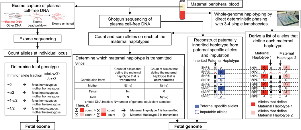 Molecular counting strategies for measuring the fetal genome noninvasively from maternal blood only. Genome-wide, chromosome length haplotypes of the mother are obtained using direct deterministic phasing. The inheritance of maternal haplotypes is revealed by sequencing maternal plasma DNA and summing the count of the alleles specific to each haplotype at heterozygous loci and determining the relative representation of the two alleles. The inherited paternal haplotypes are defined by the paternal specific alleles (i.e. those that are different from the maternal ones at positions where the mother is homozygous). The allelic identity at loci linked to the paternal specific alleles on the paternal haplotype can be imputed. Alternatively, molecular counting can be applied directly to count alleles at individual locus to determine fetal genotypes via targeted deep sequencing, such as exome enriched sequencing of maternal plasma DNA. For illustrative purpose, each locus is biallelic and carries the 'A' or 'G' alleles.