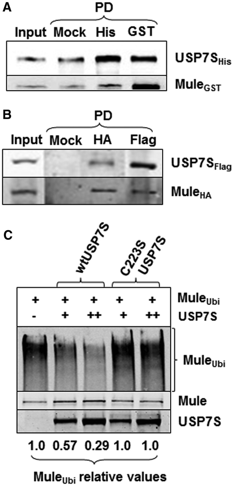 USP7S interacts with Mule and prevents its self-ubiquitylation in vitro. ( A ) Equal amounts (2.5 pmol) of purified recombinant His-tagged USP7S and GST-tagged Mule were incubated in buffer containing 50 mM Tris–HCl, pH 8.0, 50 mM <t>KCl,</t> 1 mM EDTA, 1 mM <t>DTT</t> for 30 min at room temperature with shaking. USP7S and Mule were then pulled down using either magnetic beads as a control (Mock PD, 100%) or using magnetic Ni-NTA agarose beads (His PD, 100%) or GST agarose beads (GST PD, 100%), respectively. The beads were boiled in SDS–PAGE sample buffer for 5 min, and proteins were separated by 10% SDS–PAGE and analysed using USP7S and Mule antibodies (10% of the input is loaded). ( B ) HeLa cells were simultaneously transfected with USP7S and Mule (1 pmol each) expression plasmids, whole-cell extracts were prepared and used to pull down HA-tagged Mule or Flag-tagged USP7S using either magnetic beads as a control (Mock PD, 100%), HA- (HA PD, 100%) or Flag-agarose (Flag PD, 100%) beads. Proteins were separated by 4–20% SDS–PAGE and analysed using USP7S and Mule antibodies (15% of the input is loaded). ( C ) In vitro deubiquitylation of self-ubiquitylated Mule HECT-domain by recombinant wild-type USP7S protein (wtUSP7S) or its inactive mutant (C223S USP7S) analysed by western blotting. Equal loading of the enzyme is demonstrated using USP7S antibodies.