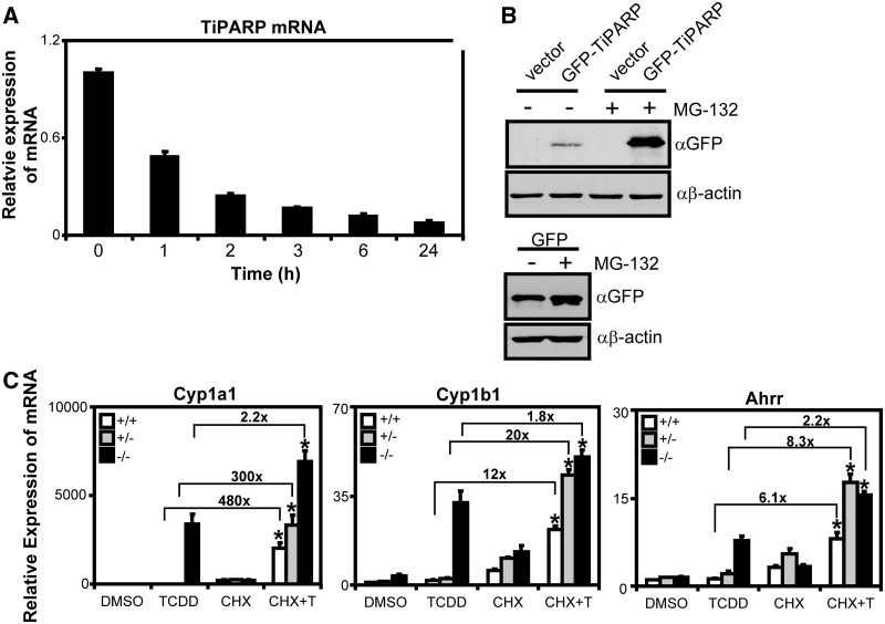 TiPARP is a labile negative regulator of AHR. ( A ) TiPARP mRNA was rapidly degraded after actinomycin D treatment. T-47D cells were treated with 1 µg/ml actinomycin D at the times indicated and Tiparp mRNA expression levels determined by qPCR. ( B ) GFP-TiPARP overexpression was increased after proteasome inhibition. HuH-7 cells were transfected with pEGFP-TiPARP, pcDNA (vector) and pEGFP for 24 h and treated with 25 µM MG-132 for 6 h, and GFP-TiPARP protein levels were determined by western blot using anti-GFP antibody. The data were from a representative western blot from three independent experiments. ( C ) Ahr target gene induction in MEF lines pre-treated with 10 µg/ml CHX. MEF cell lines were pre-treated with 10 µg/ml CHX for 1 h, then treated with TCDD for 6 h and gene expression was determined. Data were normalized to wildtype DMSO. Fold changes between TCDD alone and CHX + TCDD (CHX + T) were provided for each gene. Gene expression results were shown as means ± S.E.M for three independent experiments and significance analysed by one-way ANOVA and Tukey's multiple co mparisons test. Gene expression levels significantly different ( P