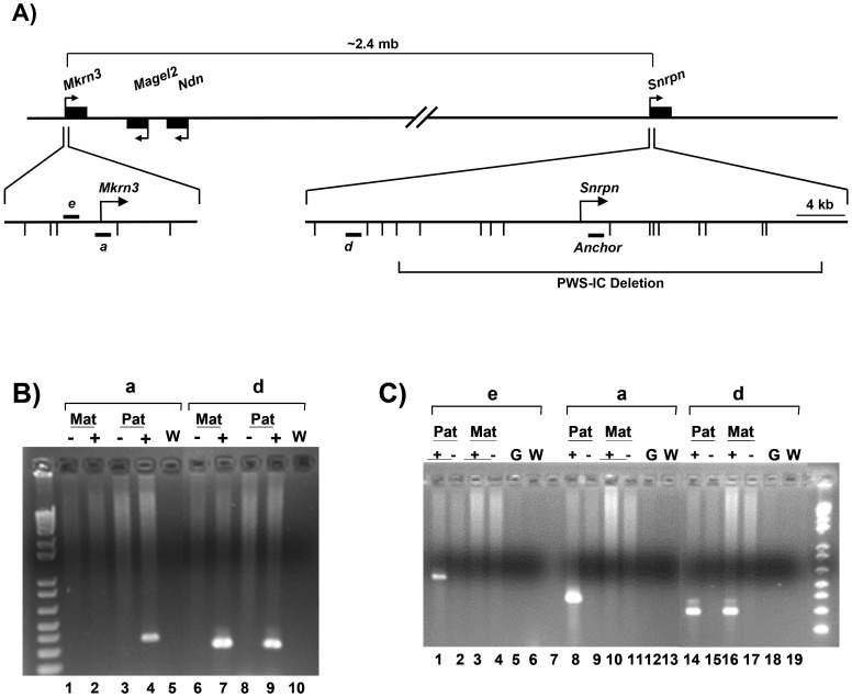 """Chromosome conformation capture (3C) analysis of the Mkrn3 locus. A) Diagram of 3C analysis of the Mkrn3 locus showing the location of the anchor primer and primers a , d , and e . Bent arrows indicate transcription initiation sites. Short horizontal bars depict the location of primers a , d , e , and the anchor primer. Short vertical marks below the magnified Mkrn3 and Snrpn 5′ regions indicate the location of EcoRI sites. The regions surrounding Mkrn3 and the Snrpn transcription initiation site are shown approximately to scale. The long horizontal brackets show the approximate distance between the Snrpn and Mkrn3 promoter regions, and the relative location of the 35 kb PWS-IC deletion in the Snrpn locus [18] . B) 3C analysis of Tg PWSdel and Tg ASdel fibroblasts using primers a and d with the anchor primer. The figure shows an ethidium bromide-stained agarose gel containing the products of <t>PCR</t> reactions between the anchor primer and the indicated primer. Mat indicates analysis of the maternal allele in Tg PWSdel cells, Pat indicates analysis of the paternal allele in Tg ASdel cells. """" − """" indicates a non-ligated control template, """" + """" indicates the ligated template, and """"W"""" indicates a control PCR reaction with an equal volume of H 2 O substituted for a 3C template. C) 3C analysis of primary mouse brain cells. 3C analysis was performed on single-cell suspensions of newborn brains from mice carrying the 35 kb PWS-IC deletion on either the maternal or paternal chromosome. All designations are the same as those previously described. Primers a , d and the anchor primer were identical to those used in panel B. Primer e is located within the same EcoRI fragment as primer a . Pat denotes 3C templates from brain cells carrying the 35 kb PWS-IC deletion on the maternal chromosome, Mat denotes 3C templates containing the PWS-IC deletion on the paternal chromosome. """"G"""" indicates control purified mouse genomic <t>DNA.</t>"""