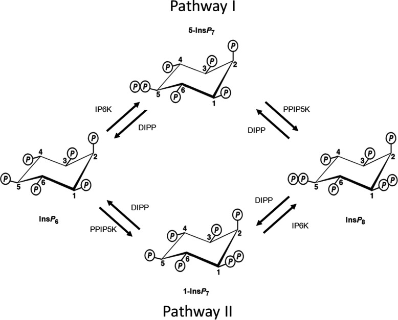 Pathways of enzymatic synthesis of PP -Ins P s Figure modified from Shears 2009 [ 5 ]. The IP6Ks (myoinositol hexakisphosphate kinase; Kcs1 in yeast [ 48 ]), of which there are three isoforms in mammals, IP6K1, IP6K2 and IP6K3 [ 26 , 48 , 52 ], phosphorylate Ins P 6 and 1-Ins P 7 at the 5 position [ 41 , 53 ]. The PPIP5Ks (Vip1 in yeast [ 21 ]), of which there are two isoforms in mammals, PPIP5K1 and PPIP5K2 [ 18 , 19 ], phosphorylate Ins P 6 and 5-Ins P 7 at the 1 position [ 20 , 41 ]. Thus, the concerted actions of the IP6Ks and the PPIP5Ks leads to two routes of synthesis to Ins P 8 , which are designated pathway I and pathway II after Padmanabhan et al. [ 17 ]. The diphosphate groups that are added by these kinases are hydrolysed by a family of PP -Ins P phosphohydrolases (DIPPs) [ 44 , 45 ].