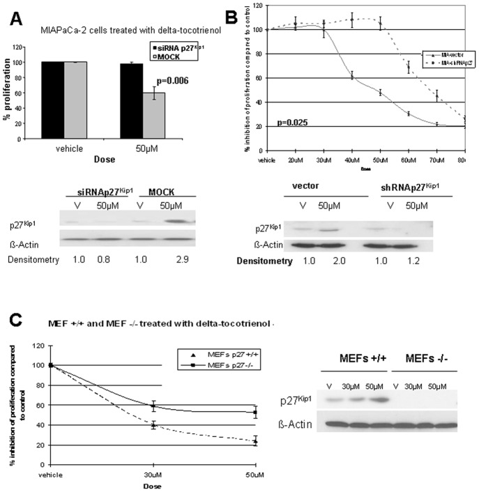 p27 Kip1 is required for δ-tocotrienol-induced G 1 arrest. A, p27 Kip1 siRNA attenuates δ-tocotrienol-mediated growth suppression in human MIAPaCa-2 pancreatic cancer cells. After transfection with p27 Kip1 siRNA or with noncoding siRNA for 24 hours, MIAPaCa-2 cells were incubated with fresh medium containing either δ-tocotrienol (IC 50 ) or vehicle for an additional 24 hours. Cells were taken from culture and divided into 2 aliquots. Immunoblots demonstrate inhibited p27 Kip1 expression with siRNA p27 Kip1 and rescue from inhibition of proliferation in siRNA p27 Kip1 -pretreated cells. B, MIAPaCa-2 cells expressing stable shRNA p27 Kip1 are protected from the growth inhibitory effects of δ-tocotrienol. Stable MIAPaCa-2 cells expressing shRNAp27 Kip1 or empty vector were treated with increasing concentrations of δ-tocotrienol or vehicle for 24 hours, with proliferation determined by MTT assay. MIAPaCa-2 cells expressing shRNAp27 Kip1 demonstrate resistance to growth inhibitory effects of δ-tocotrienol. C, p27 Kip1 knockout cells attenuate δ-tocotrienol-mediated growth inhibitory effects. Stable MEF p27 Kip1 (−/−) and MEF p27 Kip1 (+/+) were plated and incubated with either δ-tocotrienol at the indicated doses or with vehicle for 48 hours. Cell cultures were then collected in 2 aliquots and analyzed as reported previously for siRNA p27 Kip1 -treated cells. In the absence of p27 Kip1 expression, δ-tocotrienol exerts minimal growth inhibitory effects in mouse epithelial cells.