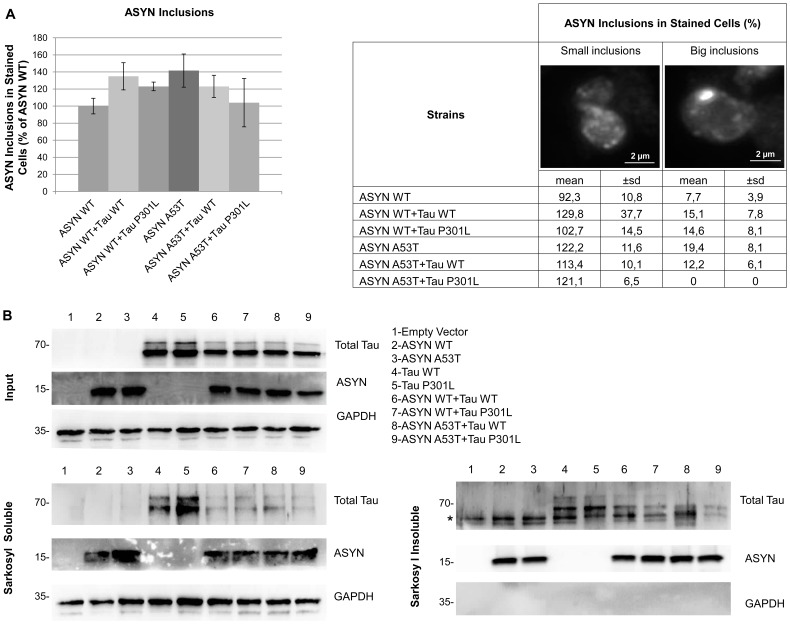 ASYN increases Tau insoluble aggregation state. A) Immunofluorescence with an anti-ASYN antibody showed no significant differences between the percentage of cells that contain ASYN (WT and A53T) intracellular inclusions when expressed alone or in combination with tau (WT and P301L). No yeast cells with ASYN big inclusions were observed in the strain expressing ASYN A53T in combination with tau P301L For statistical analysis at least 800 cells were counted. B) Both ASYN (WT and A53T) and tau (WT and P301L) form intracellular sarkosyl insoluble aggregates when expressed either alone or in combination, which are detectable by western blot. GAPDH was used as loading and soluble protein control. *corresponds to an unspecific band. Results are representative of three independent experiments.