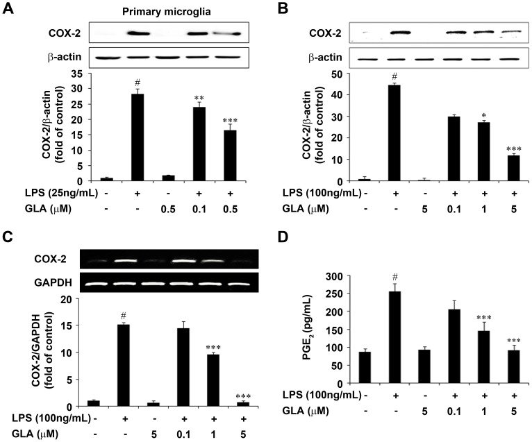 Effect of glaucocalyxin-A (GLA) on cyclooxygenase-2 (COX-2) and prostaglandin E 2 (PGE 2 ) expression in lipopolysaccharide (LPS)-stimulated microglia. Cells were pre-treated with the indicated concentrations of GLA for 1 h before incubating with LPS (25 ng/mL or 100 ng/mL) for 18 h A: Primary Microglia, B: BV-2 cells. Results are expressed as a ratio of COX-2 to β-actin. Representative quantification data was shown in the lower panel. C: Cells were pre-treated with the indicated concentrations of GLA for 1 h and then stimulated with LPS (100 ng/mL) for 6 h. Total RNA was prepared and COX-2 mRNA level was determined by RT-PCR. Results are expressed as the ratio of COX-2 to GAPDH. Quantification data are shown in the lower panel. D: PGE 2 levels were analyzed with an enzyme immunoassay kit. Absorbance was measured at 420 nm spectrophotometrically. Data are mean ± S.E.M. (n = 3) for three independent experiments. # P