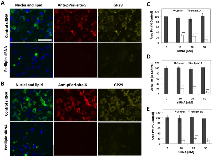 Downregulation of anti-pPeri-site 5, anti-pPeri-site 6, and GP29 labeling by siRNA to perilipin 1A. Preadipocytes were transfected with either control or perilipin 1A siRNA (0 to 50 nM), exposed to differentiation medium for 6 days, treated with 6 µM FSK for 20 minutes, then fixed and labeled for nuclei (blue), lipid (green), and either anti-pPeri-site 5 or anti-pPeri-site 6 (red) plus GP29 (yellow). A, Representative fields of view are shown for cells transfected with 10 nM siRNA and labeled with anti-pPeri-site 5 plus GP29. B, Representative fields of view are shown for cells transfected with 10 nM siRNA and labeled with anti-pPeri-site 6 plus GP29. C, D, and E are mean values for Area of the Protein mask (Area Pm), for GP29, anti-pPeri-site 5, and anti-pPeri-site 6, respectively. Data are normalized to the 0 siRNA control, and each bar represents the mean ± SD, for n = 6 wells. *** p