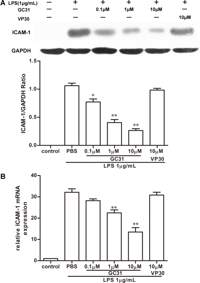 GC31 suppressed lipopolysaccharide-induced intercellular adhesion <t>molecule-1</t> expression in human umbilical vein endothelial cells. The cells were treated with GC31 (0.1 μM, 1 μM, and 10 μM) or VP30 (10 μM) simultaneously combined with lipopolysaccharide (LPS) (1 μg/ml). A : The amounts of intercellular adhesion molecule-1 (ICAM-1) in the whole cell extracts 12 h after LPS stimulation were determined with western blot analysis. B : The messenger RNA (mRNA) levels of ICAM-1 were assessed with real-time PCR analysis 6 h after LPS stimulation. Glyceraldehyde-3-phosphate dehydrogenase (GAPDH) protein and mRNA were measured as the internal control. The data represent means±SD of triplicate measurements. *p