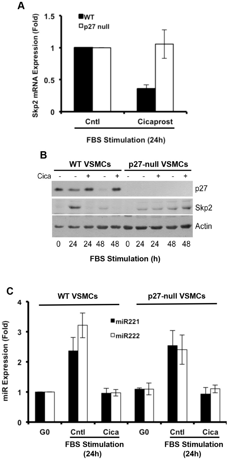 miR-221/222 is a primary target of PGI 2 . Quiescent early passage VSMCs from wild-type or p27-null mice were stimulated with 10% FBS in the absence (control; C) or presence of 200 nM cicaprost (cica). ( A ) Total RNA was extracted at 24 h, and Skp2 mRNA levels were determined by RT-qPCR. Results show mean ± SD, n = 2. ( B ) Total protein was extracted and analyzed by western blotting for p27, Skp2 and actin (loading control). (C) Total RNA was extracted at 24 h, and miR-221/222 levels were determined by RT-qPCR. Results show mean ± SD, n = 2.