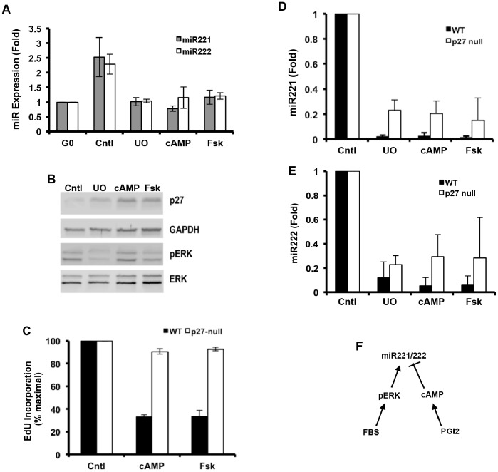 Effect of cAMP elevating agents on miR-221/222 and p27 expression. ( A–B ) Quiescent early passage VSMCs from wild-type were stimulated with 10% FBS in the absence (control) or presence of 50 µM U0126 (U0), 1 mM 8Br-cAMP, or 100 µM Forskolin (Fsk). In A, total RNA was extracted at 24 h, and miR-221/222 expression levels were determined by RT-qPCR. Results show mean ± SE, n = 3−4. In B, total protein was extracted at 24 h and analyzed by western blotting for p27, dually phosphorylated ERK (pERK), total ERK and GAPDH (loading control). ( C–E ) The experiment in A was repeated with wild-type and p27-null VSMCs in 6-well dishes containing coverslips and EdU. In C, coverslips were fixed at 48 h and stained for EdU; results are plotted relative to the FBS-treated control; n = 3. In D-E, total RNA was extracted at 24 h, and miR-221 or miR-222 expression levels were determined by RT-qPCR. Results show mean ± SD, n = 2. ( F ) miR-221/222 regulation by mitogens, ERK, PGI 2 , and cAMP.