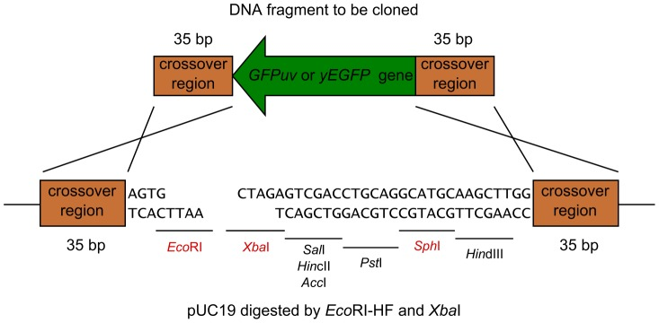 DNA sequences of the crossover regions of Eco RI/ Xba I-digested pUC19 and GFPuv . The cross represents homologous recombination. The representative restriction sites are shown.