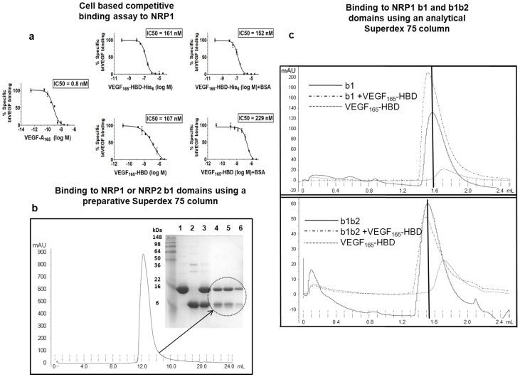 Binding of <t>VEGF-A</t> 165 -HBD to NRP as detected by a cell based assay and size exclusion chromatography. (a) Binding of VEGF-A 165 -HBD to NRP1 was determined in DU145 cells expressing an adenoviral construct encoding NRP1 [17] . These cells do not express other VEGF receptors [21] . Cells were incubated with <t>biotinylated</t> VEGF-A 165 in the presence of the indicated concentrations of either unlabelled VEGF-A 165 (positive control), or VEGF-A 165 -HBD containing a His 6 tag or VEGF-A 165 -HBD without the tag. Values presented are the means (±SEM) obtained from two independent experiments. Other experimental details are described in Materials and Methods. (b) Binding of VEGF-A 165 -HBD to b1 domains of NRP1 and NRP2 was assessed by size exclusion chromatography. The protein mixtures of a tenfold molar excess of VEGF-A 165 -HBD with the purified b1 domain from either NRP1 or NRP2 were incubated at room temperature for 30 minutes. The FPLC profile for VEGF-A 165 -HBD and NRP1 b1 mixture is shown. SDS-PAGE analysis was used to evaluate samples of NRP1 b1, VEGF-A 165 -HBD, and the protein mixture before being loaded onto the size exclusion column (lanes 1–3, respectively) as well as samples of fractions which eluted from the single peak (lanes 4–6), showing that VEGF-A 165 -HBD and NRP1 b1 co-eluted from the preparative Superdex 75 column. A similar result was seen for VEGF-A 165 -HBD and NRP2 b1. (c) Formation of the molecular complexes was also investigated by analytical size exclusion chromatography. NRP1 b1 and b1b2 domains as well VEGF-A 165 -HBD were initially loaded separately onto the analytical Superdex 75 column and their corresponding FPLC traces are shown in solid and dashed lines, respectively. To detect binding, NRP1 b1 or b1b2 domains were mixed with VEGF-A 165 -HBD in solution at a molar ratio of 1∶10 and 1∶28, respectively and incubated for an hour at room temperature. The mixtures were then applied to the column. The main peaks in the elution 