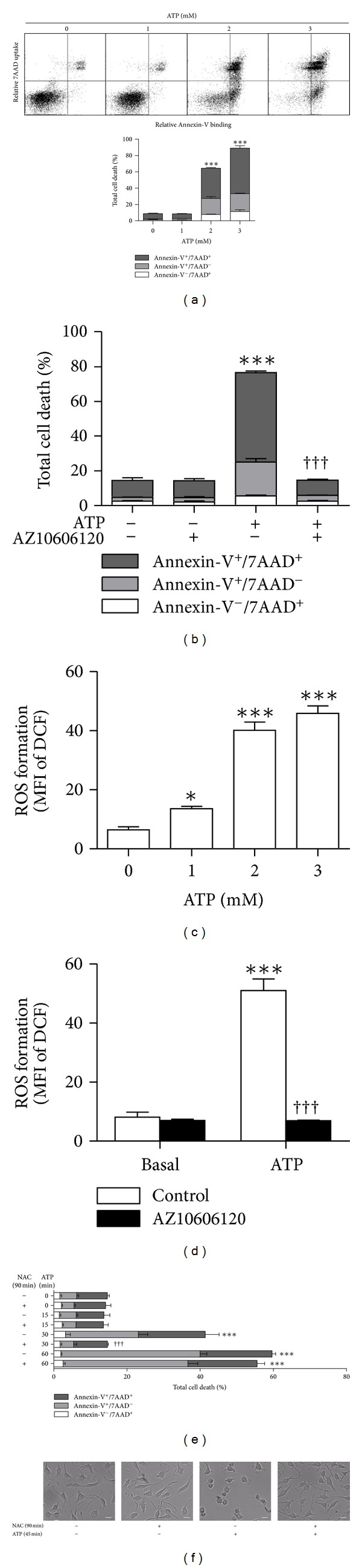 P2X7 activation induces cell death in EOC13 microglial cells. (a) Adherent EOC13 cells in complete DMEM medium were incubated in the absence or presence of varying concentrations of ATP (as indicated) at 37°C for 24 h. (b) Adherent cells in complete DMEM medium were preincubated in the absence or presence of 10 μ M AZ10606120 at 37°C for 15 min and then in the absence or presence of 2 mM ATP for 24 h. (e and f) Adherent cells in complete DMEM medium were incubated in the absence or presence of 40 mM NAC at 37°C for 90 min and incubated in the absence or presence of 2 mM ATP for the final (e) 15–60 min or (f) 45 min (of the 90 min incubation), and then the medium replaced with fresh complete DMEM medium for 24 h. (a, b, and e) Cells were harvested, labelled with <t>Annexin-V-Fluorescein</t> and 7AAD, and the percentage of Annexin-V − /7AAD + , Annexin-V + /7AAD − , and Annexin-V + /7AAD + cells (together representing total cell death) determined by flow cytometry. (f) DIC images of cell morphology were acquired by microscopy. Bars represent 20 μ m. (c) Adherent DCF-loaded cells in complete DMEM medium were incubated in the absence (basal) or presence of varying concentrations of ATP (as indicated) at 37°C for 15 min. (d) Adherent DCF-loaded cells in complete DMEM medium were preincubated in the absence (control) or presence of 10 μ M AZ10606120 at 37°C for 15 min and then in the absence (basal) or presence of 2 mM ATP for 15 min. (c and d) Incubations were stopped by the addition of MgCl 2 medium and centrifugation. Mean fluorescence intensity (MFI) of DCF (ROS formation) was determined by flow cytometry. Results shown as (a) dot plots of one representative set of data demonstrating the quadrant markers and (a–e) means ± SD, n = 3; *** P