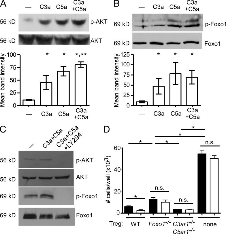 <t>AKT</t> and Foxo1 link C3aR/C5aR signaling to Foxp3 expression . (A and B) Representative immunoblots of flow-sorted Foxp3-GFP + <t>CD4</t> + nT reg cells lysates 15 min after stimulation with C3a, C5a, both, or control (buffer alone). p-AKT/total AKT (A) and p-Foxo1/total Foxo1 (B) shown with quantification normalized to nonphosphorylated bands (bottom of each panel). (C) Representative immunoblot of flow-sorted Foxp3-GFP + CD4 + nT reg cells lysates 15 min after stimulation with C3a + C5a ± PI-3K inhibitor LY294 for p-AKT, total AKT, p-Foxo1, and total Foxo1. No signal above background was detected for p-AKT or p-Foxo1 in lysates from the LY294-treated cells. Blots are representative of at least independent three experiments. (D) Total number of T conv cells from suppression cultures using WT, Foxo1 −/− , or C3ar1 −/− C5ar1 −/− nT reg cells + C3aR-A/C5aR-A (white) or buffer control (black). *, P