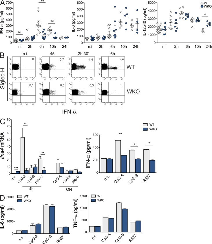 Progressive exhaustion of the TLR9/IFN-α in WKO mice. (A) WT and WKO adult ( > 6 wk) mice were injected intravenously with 10 µg CpG-A in complex with the cationic lipid DOTAP. Serum levels of IFN-α, IL-6, and IL-12p40 were measured by ELISA at 2, 6, 10, and 24 h after injection. n = 4–9 mice per group in three independent experiments. (B) Dot plots showing IFN-α intracellular staining in the spleen of WT and WKO mice isolated at different time points after injection. Numbers represents the percentage of cells in the respective quadrant. Data are representative of one of three experiments performed each with three mice per group. (C) Gene transcription and protein release in splenic pDCs sorted from WT and WKO adult mice. Cells were stimulated ex vivo with CpG-A, CpG-B, and R837 (15 µg/ml). The relative expression of Ifna4 transcripts was evaluated by qRT–PCR at 4 and 24 h. The target mRNA was normalized to β-actin mRNA. Values are shown as the 2 ΔCT × 10 3 . The levels of IFN-α (C, right), IL-6, and IL-12p40 (D) were measured in cell culture supernatants after 16 h. Results are representative of four (CpG-A and CpG-B in C) and three (R837 in C and D) independent experiments. A, Mann-Whitney test; C and D, Student's t test; error bars indicate SEM. *, P