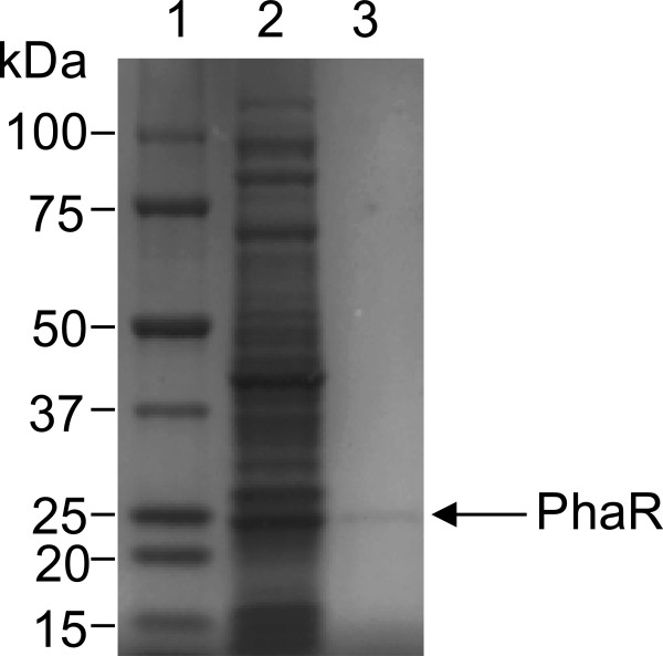 Purification profiles of recombinant PhaR. Soluble proteins were subjected to electrophoresis in an SDS (4-15%) polyacrylamide gradient gel and stained with CBB. Lane 1, molecular mass standard proteins; lane 2, soluble protein fraction of E. coli BL21 (DE3) harboring pET100/D-TOPO-PhaR Re .; lane 3, PhaR purified by nickel-nitrilotriacetic acid agarose (5 μg).