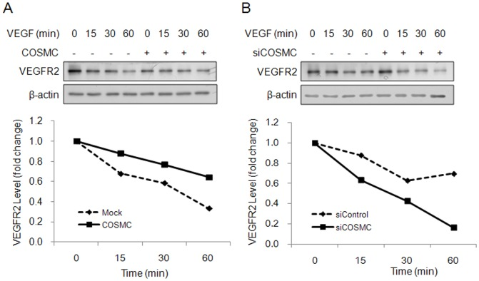 COSMC modulates protein degradation of VEGFR2. (A) COSMC overexpression delays degradation of VEGFR2. HUVECs were treated with cycloheximide (10 µg/ml) to block protein synthesis and 20 ng/ml of VEGF to trigger internalization and degradation of VEGFR2 for indicated time points. Upper panel shows representative Western blots. Lower panel shows signals on Western blots quantified by ImageQuant5.1 for HUVECs transfected with <t>pcDNA3.1</t> control plasmid (dashed line) and UVECs transfected with COSMC/pcDNA3.1 (solid line). (B) COSMC knockdown facilitates degradation of VEGFR2. VEGFR2 degradation in HUVECs transfected with control siRNA (dashed line) or COSMC siRNA (solid line) was shown. Representative data from two independent experiments are presented.