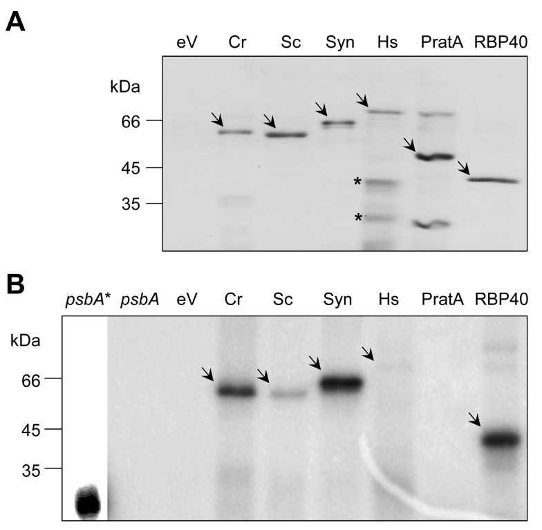 """Binding of RNA by dihydrolipoamide acetyltransferases might be a global phenomenon. (A) Hexahistidine-tagged E2 fusion proteins from C. reinhardtii (Cr), S. cerevisiae (Sc), Synechocystis sp. 6803 (Syn), and H. sapiens (Hs) along with two control proteins (PratA and RBP40) were purified on Ni-NTA Sepharose, separated by SDS-PAGE, and Coomassie-stained. To exclude an unspecific RNA binding of contaminating E. coli proteins in (B), we used the same volumes as used for the C. reinhardtii E2 protein of an elution fraction obtained from the bacterial host strain transformed with the empty expression vector served as control (eV). Recombinant proteins are indicated by arrows. Proteins in the preparation of the human E2 subunit (Hs) that are specifically recognized by an anti-histidine antibody are marked by an asterisk. (B) RNA binding assay. One of the 20 (∼100 ng) recombinant proteins shown in (A) was used for UV cross-linking to psbA mRNA. Lanes """" psbA* """" and """" psbA """" show the radiolabeled psbA RNA without and with RNase treatment, respectively. Due to the high intensity of the psbA * signal, a lower exposure of this lane is shown. Specific radioactive signals are indicated by arrows."""