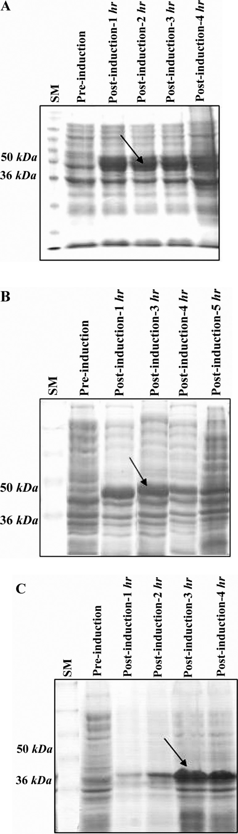 Induction of rFHA1; A), rFHA2; B) and rFHA3; C) proteins expression in E. coli BL21 (DE3). IPTG was added to a logarithmic liquid culture of transformed bacteria at 1 mM concentration when OD 600nm was 0.6. Pre-induction and post-induction samples were collected at different time points and run on 12% SDS-PAGE followed by Coomassie blue staining. The arrow in the middle of the gel shows the expected target protein molecular weight (∼ 40 kDa ); SM: protein size marker