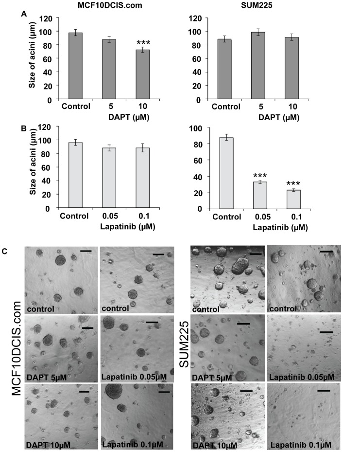 Notch and ErbB1/2 receptor inhibition reduces the size of DCIS cell line acini. MCF10DCIS.com and SUM225 cells were grown in matrigel culture in the presence or absence of DAPT 5 and 10 µM (A), Lapatinib 0.05 and 0.1 µM (B). Cells were treated from day 0 and media/inhibitor was changed every 3 days. After 21 days in culture the size of the acini were measured (µm). (C) Bright field images of DCIS acini grown in the presence or absence of DAPT 5 and 20 µM or Lapatinib 0.05-and 0.1 µM. Scale bar represent 100 µm, graphs represent mean±standard error of 3 independent experiments, Man Witney U test, two-tailed, * p≤0.032, ** p≤0.008, *** p≤0.0001.