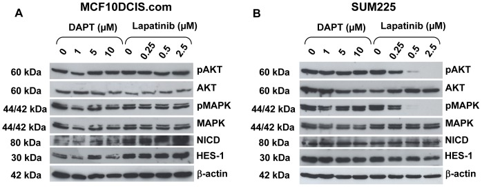 Downstream signalling in DCIS cell line mammospheres. Western blot analysis of downstream targets of Notch and ErbB1/2 receptor signalling in (A) MCF10DCIS.com and (B) SUM225 cells after treatment with DAPT or Lapatinib for 7 days in non-adherent mammosphere culture. Treatments were added at time zero. pAKT = phospho-AKT; AKT = total AKT; pMAPK = phospho-MAPK; MAPK = total MAPK; NICD = Notch1 intracellular domain. β-actin was used as a loading control.