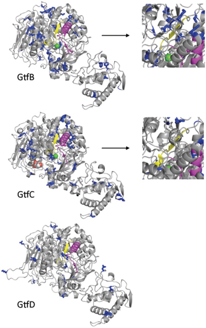 Models of the 3D structure of the catalytic domain of S. mutans Gtfs. Blue: amino acids under negative selection (side chains shown). Yellow: active site. Magenta: Gtf-P1 region [69] . Green sphere: Ca 2+ ion. Right panels: Detail of a different view of the region surrounding the active site of GtfB and GtfC.