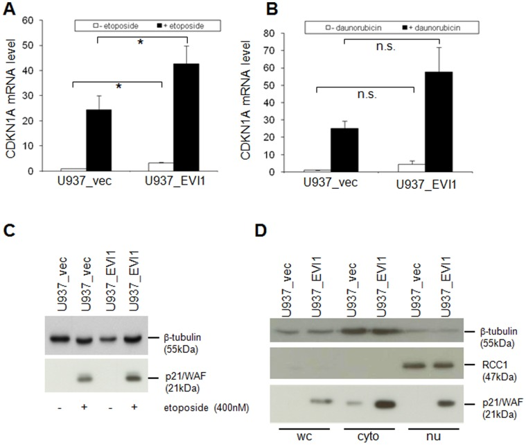 Regulation of the CDKN1A/p21/WAF mRNA and protein by EVI1 , etoposide, and daunorubicin. A, B) qRT-PCR on RxNA from U937_vec and U937_EVI1 cells treated or not treated with 400 nM etoposide (A) or 30 nM daunorubicin (B) for 48 h. CDKN1A levels were normalized to those of the housekeeping gene B2M using the ΔΔct method [48] , with untreated U937_vec cells as a calibrator. Shown are means+SEMs from 3 independent experiments. *, p
