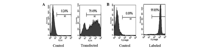 FACS analysis of the transfected tumor cells and the PKH26-labeled CIK cells. BGC823 cells were transfected with EGFP-expressing plasmid and the CIK cells were labeled with PKH26. The efficacy of transfection and PKH-labeling was characterized by FACS analysis. Data are representative histograms of each type of cells from three separate experiments. (A) FACS analysis of EGFP + BGC823 cells; (B) FACS analysis of PKH26-labeled CIK cells. CIK, cytokine-induced killer.