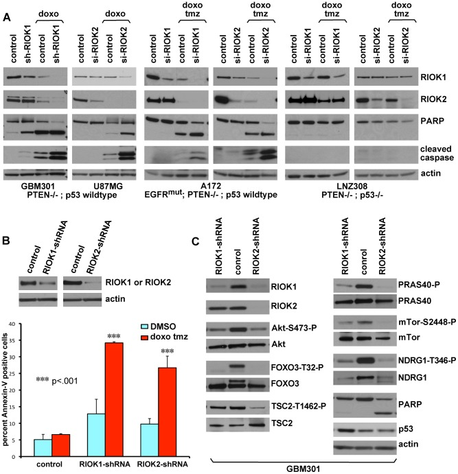 Loss of RIOK1 or RIOK2 function chemosensitizes GBM cells and reduces TORC2-Akt signaling. (A) Knockdown of RIOK1 or RIOK2 sensitizes GBM cells to apoptosis in response to treatment with doxorubicin (doxo) and temozolomide (tmz), as evidenced by blots for active caspase-3 and PARP cleavage (A). All samples blotted for RIOK1 and RIOK2 to confirm changes in RIOK1 levels with RIOK2 knockdown, evident in p53-wild-type GBM cell lines. The RIOKs also decline with doxorubicin treatment. GBM301 cells were treated for 24 hrs with 1 µg/mL doxorubicin beginning 96 hrs post infection with viral vectors. U87MG, A172, and LNZ308 cells were treated for 24 hrs with 1 µg/mL doxorubicin and 100 µM temozolomide beginning 72 hrs post transfection with siRNAs. (B) FACS-based quantification of chemosensitivity. 96 hours post shRNA infection, U87MG samples were split in half and treated for 12 hours with either DMSO (light blue) or 1 µg/mL doxorubicin and 100 µM temozolomide (red). Live cells were collected and stained for 7AAD and Annexin-V. Data is represented as the percentage of Annexin V-positive 7AAD-negative cells in each sample, averaged over 2 experiments. P-values refer to student's two-tailed t-test used to compare doxorubicin and temozolomide-treated control to RIOK-shRNA cells. Validation of knockdown shown. FACS plots and raw data shown in Figure S15 . (C) GBM301 cells treated with 25 µM ZVAD for 48 hrs beginning 3 days post-infection with viral vectors. Reduced phosphorylation of Akt on the TORC2 target site, Serine-473, is visible relative to total Akt protein. Reduced phosphorylation of several Akt targets, such as the FOXO3 transcription factor, is clear when phospho-epitope signal is compared to total protein controls. PARP cleavage is a read-out for apoptosis; PARP cleavage fragment in RIOK2 knockdown cells indicates residual caspase activity, due to the strong effect of RIOK2 loss. p53 upregulation was evident in GBM301 cells in the absence of residual caspase activity.
