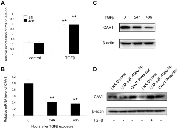 TGFβ regulates CAV1 by increasing miR-199a-5p expression. MRC-5 lung fibroblasts were treated with 10 ng/mL TGFβ for 24 h and 48 h. MiR-199a-5p (A) and CAV1 expression levels (B) were determined by Taqman PCR. Data are expressed as mean ± SEM. ** p