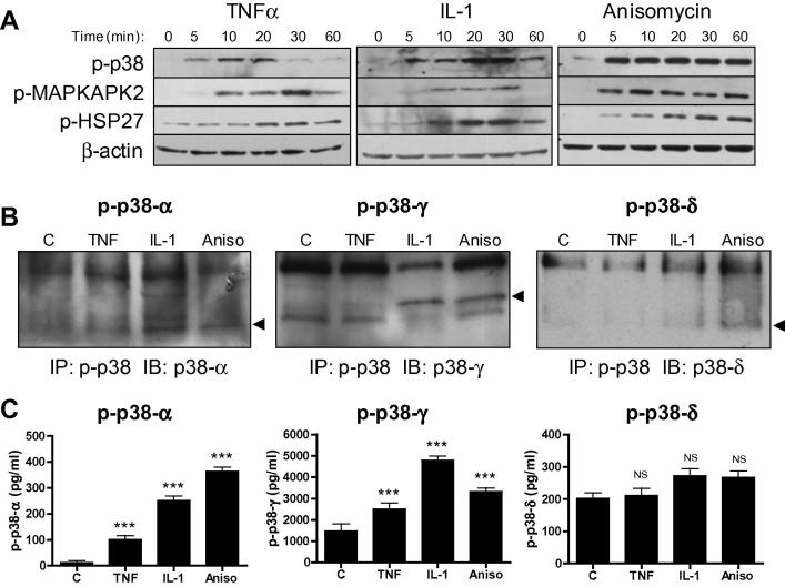 Cytokine-induced p38 MAPK subtype activation in human CF. (A) Cells stimulated with 10 ng/ml TNFα, 10 ng/ml <t>IL-1α</t> or 25 μg/ml anisomycin for 5–60 min before preparing whole cell homogenates and immunoblotting with phospho-specific and expression antibodies for p38 MAPK, MAPKAPK2 and HSP27. Blots representative of n = 3. (B) CF stimulated with 10 ng/ml TNFα, 10 ng/ml IL-1α or 25 μg/ml anisomycin for 15 min before preparing cell extracts for analysis of p38 subtype phosphorylation by IP/IB method. Samples were immunoprecipitated with pan phospho-p38 antibody then immunoblotted with individual p38 subtype expression antibodies. Blots representative of n = 3. (C) CF stimulated as for (B) and p38 subtype phosphorylation analyzed by ELISA. Bar chart depicts concentration of phosphorylated p38 subtypes (pg/ml). ∗∗∗ P