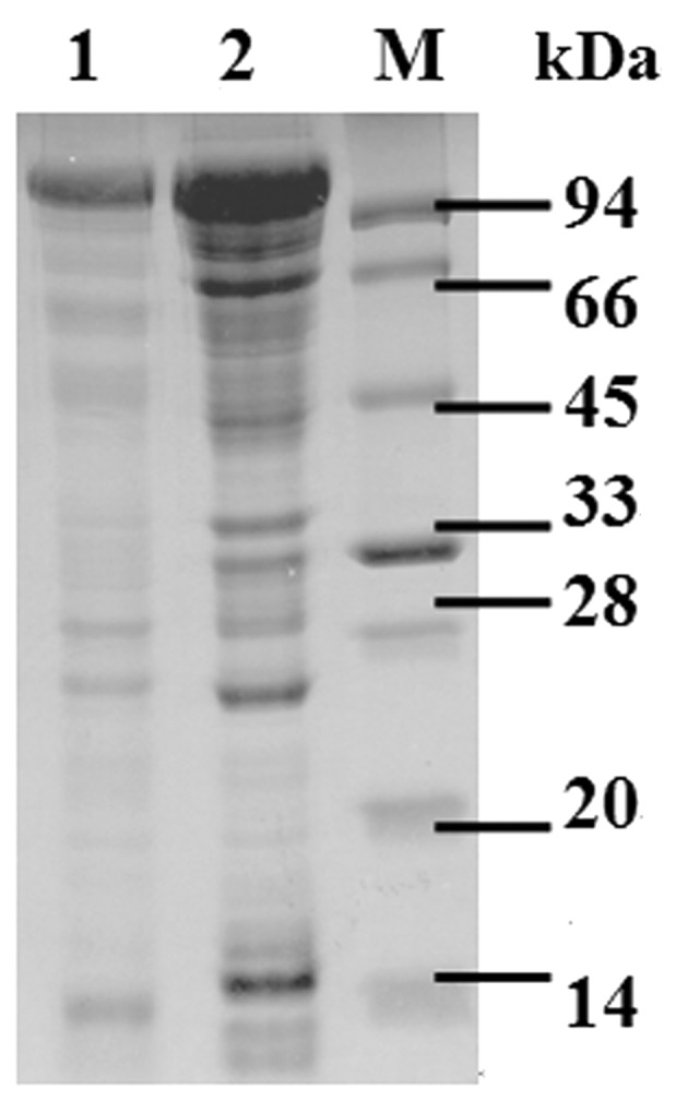 SDS-PAGE analysis of purified protein recombinant SllB in E. coli BL21 cells. Lane M: Takara Protein Marker; lane 1, SDS-PAGE analysis of the recombinant S-layer protein before purification; lane 2, SDS-PAGE analysis of the purified recombinant protein.