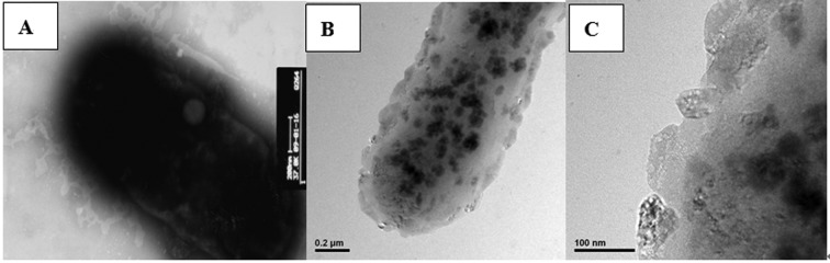 A transmission electron microscopic observation on the E. coli BL21 with recombinant protein. (A) Normal E. coli BL21 was treated as control. (B) The E. coli BL21 cells recombinant S-layer protein. (C) Crystal lattice structures on surface of the E. coli BL21 cells recombinant S-layer protein.
