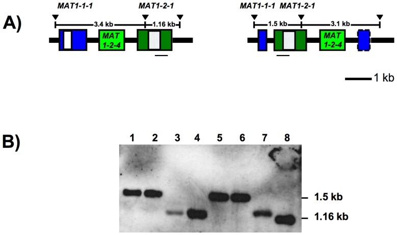 Analysis of MAT1-2-1 copy number using Southern blotting. 8A) Gene diagrams of Sclerotinia sclerotiorum Inv- (left) and Inv+ (right) MAT loci illustrating the positions of the Southern probe with respect to the restriction sites used for Southern analyses. Boxes represent genes, white and dotted boxes correspond to alpha1 and HMG domains, respectively, dashed box represents MAT1-1-1 3'-fragment lacking an in frame start codon. Gene names are indicated above or within the boxes. The positions of the Bsa HI restriction sites (black triangles) and the distances between the Bsa HI sites are indicated above the boxes. The position of the Southern probe is marked by a horizontal black line beneath MAT1-2-1. The Inv+ alpha1 box is truncated after 45 bp and is not illustrated, for details see text. 8B) Southern blot of Bsa HI-digested genomic DNA visualized with the digoxigenin-labeled MAT1-2-1 specific probe. Wells 1 - 8 correspond to S. sclerotiorum strains 1B331-1 – 1B331-8 that represent an ordered tetrad, band sizes are indicated on the right. Lanes 1, 2, 5 and 6 have the pattern reflective of an Inv+ MAT locus, lanes 3, 4, 7 and 8 have the pattern expected for an Inv- MAT locus.