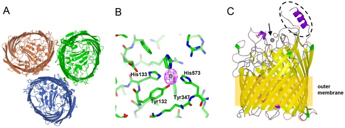 Structure and iron recognition by FrpB. (A) FrpB F3-3 variant trimer, viewed from above. (B) Detail of the Fe binding site in FrpB F5-1; Fe coordinating residues are marked. The anomalous difference map is shown in purple, contoured at 8σ, superimposed on the Fe atom. (C) Ribbon plot of FrpB F5-1, coloured by secondary structure, indicating the relative positions of Fe (arrowed), the helix-loop HR region (circled) and the outer membrane.
