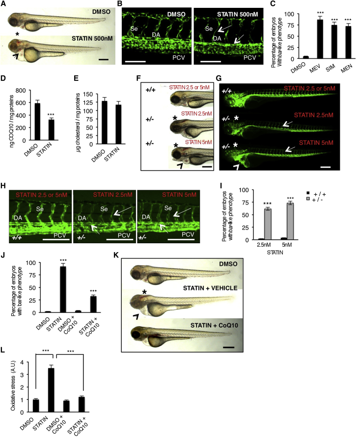 Block of Mevalonate Pathway Causes Cardiovascular Failure in Zebrafish Embryos by Reducing CoQ10 Synthesis (A) Wild-type (WT) embryos at 72 hpf treated from 54 hpf with statin (mevastatin) or DMSO. Statin treatments induce a bar -like phenotype which is characterized by hemorrhages (asterisk) and heart failure (arrowhead). Scale bar, 300 μm. (B) Three dimensional projections of trunk vessels at 72 hpf of DMSO and statin-treated zebrafish embryos. Statin treatments induce specific endothelial vessels regression and fragmentation in DA and Se (arrows). Scale bar, 100 μm. (C) Quantification of bar -like phenotype after statin treatments. MEV, mevastatin 500 nM; SIM, simvastatin 500 nM; MEN, mevinolin 500 nM. (D and E) Levels of CoQ10 (D) and cholesterol (E) detected by HPLC-UV analyses in statin-treated embryos. (F and G) Bright-field (F) and fluorescent (G) images of Tg(kdrl:GFP) s843 ubiad1 +/+ and ubiad1 +/− embryos at 65 hpf treated with mevastatin (2.5 nM and 5 nM) from 32 to 50 hpf. Treatment with a low dose of statin caused hemorrhages (asterisks) and altered heart morphology (arrowheads) in ubiad1 +/− , but not in ubiad1 +/+ embryos. Although treatment with a low dose of statin did not induce specific alterations of the main vasculature, ubiad1 +/− embryos showed head vasculature, Se, and DA regression; scale bar, 300 μm. (H) Images of Tg(kdrl:GFP) s843 ubiad1 +/+ and ubiad1 +/− embryos trunk vasculature show thinner and collapsed Se and DA morphology in statin-treated ubiad1 +/− but not in ubiad1 +/+ embryos. Scale bar, 75 μm. (I) Penetrance of bar -like phenotype at 65 hpf after treatment with mevastatin. ubiad1 +/− embryos are significantly more sensitive to develop a bar -like phenotype than normal embryos ( ubiad1 +/+ ). (J) CoQ10 supplemented embryos show less susceptibility to statin treatments in terms of developing a bar- like phenotype as indicated by histograms showing the percentage of statin-treated embryos having bar -like phenotype after exogenous CoQ10 delivery. (K) CoQ10 supplementation before statin treatment prevents cardiac edema (arrowhead) and brain hemorrhages (asterisk) in barolo . Images of vehicle- and CoQ10-injected embryos after statin treatment. Scale bar, 300 μm. (L) Histograms show oxidative stress in embryos after statin treatment with or without CoQ10. All data are means ± SEM. ∗∗∗ p