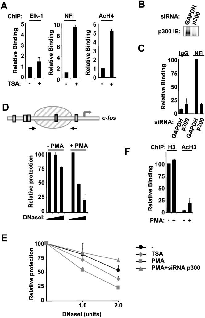 p300-Mediated Histone Acetylation Promotes Recruitment of NFI to the c -fos Promoter (A) ChIP showing the association of NFI, Elk-1, and acetylated histone H4 with the c - fos promoter upon TSA treatment. HeLa cells were serum starved (−) or starved and treated with TSA for 30 min (+) where indicated. (B) Immunoblot showing the knockdown of p300 protein expression in HeLa cells 48 hr after transfecting with siRNAs targeting p300. (C) ChIP of the c -fos promoter with either an antibody directed toward NFI or normal rabbit IgG. HeLa cells were transfected with siRNA directed toward either p300 or GAPDH and were treated with PMA for 10 min. (D and E) Chromatin accessibility by real-time PCR (CHART-PCR) at the c -fos promoter. Schematic diagram displays the positions of primers (arrows) used for CHART-PCR analysis. HeLa cells were treated with PMA or TSA for 10 min. Where indicated, cells were pretreated with si-p300 before stimulation. Aliquots of isolated nuclei were incubated with increasing amounts of DNase I (0, 1.0, and 2.0 U), and the relative levels of nuclease protection at the nucleosome positioned at the c -fos promoter were measured by real-time PCR. (F) ChIP of the c -fos promoter with either an antibody directed toward total histone H3 or acetylated histone H3 from serum-starved HeLa cells (−) or PMA-treated cells (10 min) (+) as indicated. Data in (A), (C), (D), (E), and (F) are presented as means ± SEM (n ≥ 4, 4, 6, 6, and 4, respectively) and are the average of at least two ([A], [C], and [F]) or three ([D] and [E]) independent experiments performed in duplicate.