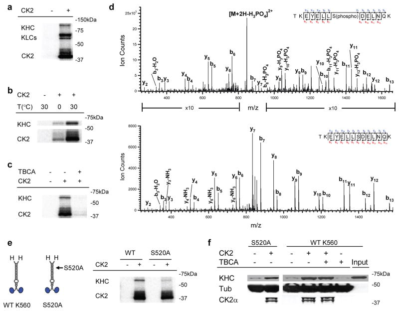 Role of CK2 kinase activity in K560 activation. ( a ) Autoradiogram of CK2/native kinesin mixture, supplemented with 1 μCi of [γ- 32 P]-ATP. Control experiments lacking CK2 are shown. ( b ) Effect of incubation temperature on CK2 kinase activity in vitro , assayed by autoradiogram. Parallel samples of wild type K560/CK2 mixture, supplemented with 1 μCi of [γ- 32 P]-ATP, were incubated on ice (1.5 hr) or at 30°C (40 min). Radioactive phosphate incorporation in both K560 and the CK2 itself were severely limited when incubated on ice. ( c ) Effect of the CK2 specific inhibitor, TBCA (100 μM), on the kinase's ability to phosphorylate wild type K560, assayed by autoradiogram. Diminished CK2 auto-phosphorylation (in 'CK2' band) by TBCA-treatment further verified the pharmacological inhibition of kinase activity. ( d ) LC-MS/MS spectra of tryptic phosphopeptide (TKEYELLS(phospho)DELNQK) and non-phosphopeptide (TKEYELLSDELNQK). Ion count intensity in the phosphopeptide spectrum is enhanced in the indicated regions for comparison with the non-phosphopeptide. We obtain 81% sequence coverage of K560 protein using LC-MS/MS analysis. ( e ) Schematic (left) of wild-type K560and phospho-mutant S52A, and autoradiogram (right) assaying the ability of CK2 to phosphorylate the mutant ('S520A') vs. wild type motor ('WT'). ( f ) Motor co-sedimentation with microtubules at 4 mM AMPPNP, assayed by immunoblot. Both the phosphor-mutant ('S520A') and the wild-type motor ('WT K560') were incubated with and without CK2 (3:1 CK2:motor) for 40 min at 30 °C prior to microtubule pulldowns. For 'WT K560', we introduced the CK2 specific kinase inhibitor, TBCA (100μM), during motor/kinase incubation.